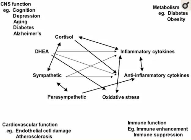 mediators of stress in the body