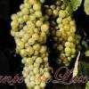Vinuri: Soiuri de struguri albi 2