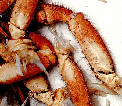 Despre crabi