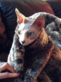 Blue, One of Our Sphynx Cats
