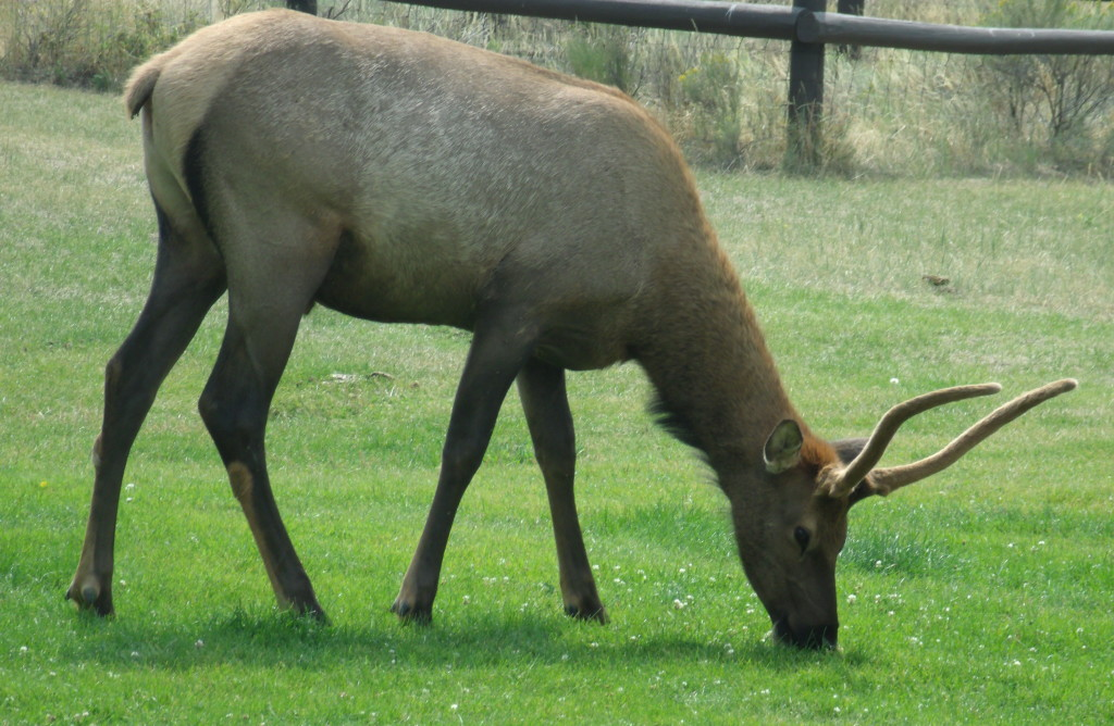 Young Male Elk