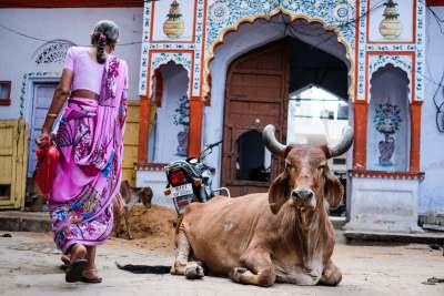 pushkar cow