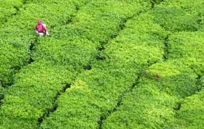 pesticide use in tea plantation cameron highlands
