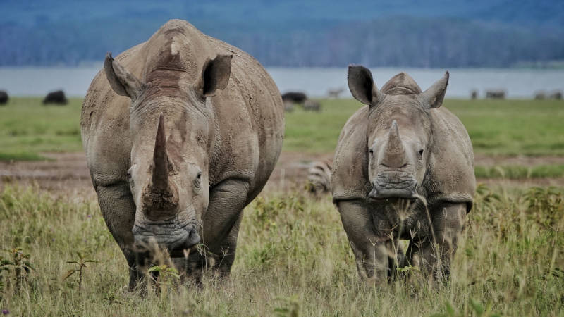 Mama and baby rhinos stand together in a field in Kenya.