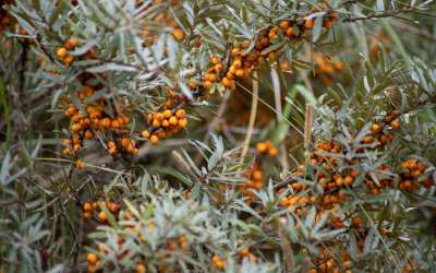 The so-called Leh Berry: Insight into Sea Buckthorn
