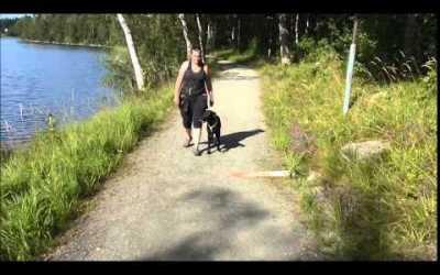 Gun dog heeling with Tod