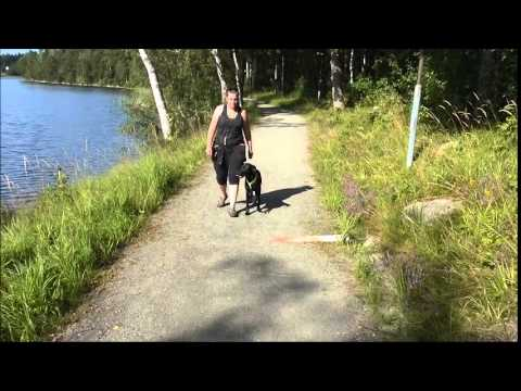 Gun dog heeling with Tod