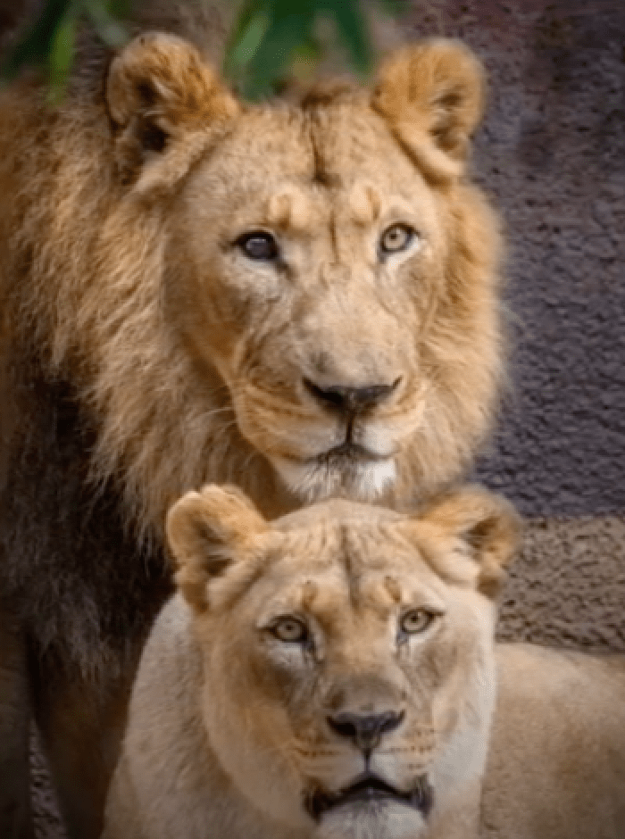 Elderly Lion Couple Put To Sleep At The Same Time So They Don't Have To Live Without Each Other