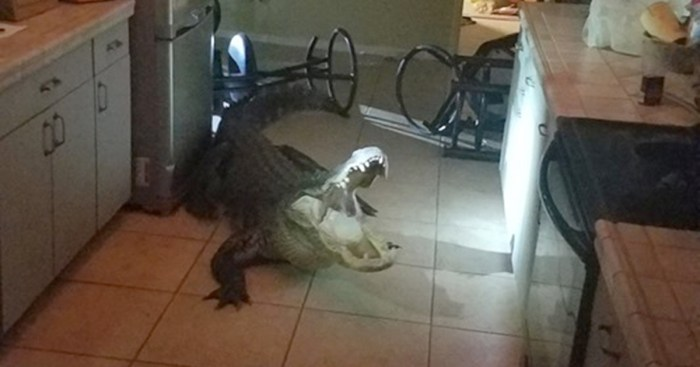 Gator breaking into Florida home
