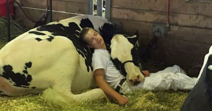 Mitchell and cow Audri napping together