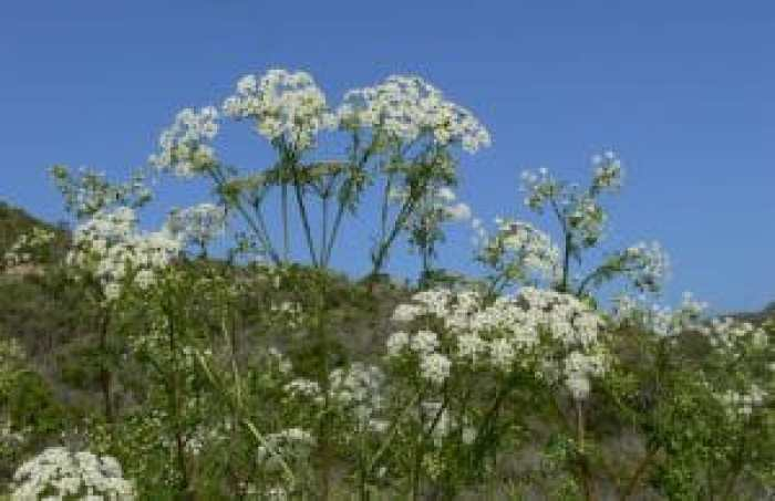Poison hemlock resembles Queen Ann's lace, but with much more dangerous properties