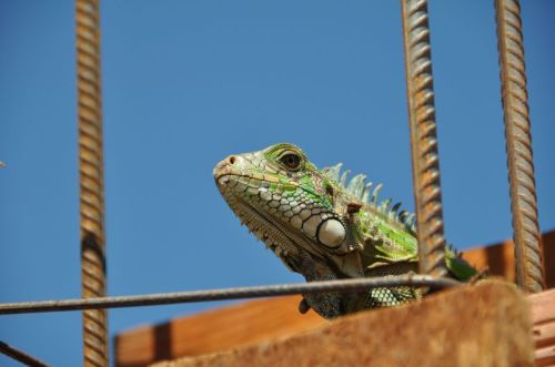An Iguana stops by to inspect our work