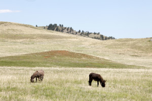 Donkeys graze in the Black Hills mountain range in South Dakota near the site of a proposed uranium mining project.