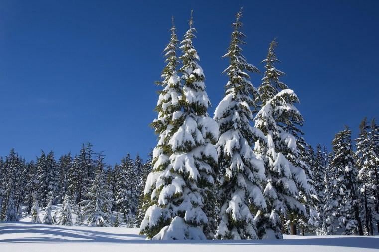 tree facts snow