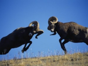 two rams charging