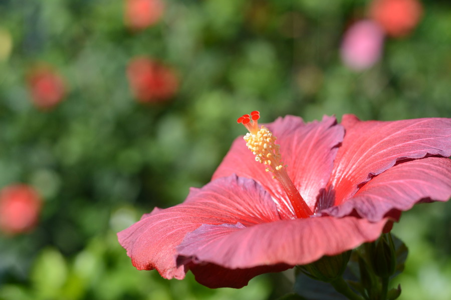 hibiscus. Orchid Extravaganza at Longwood Gardens.