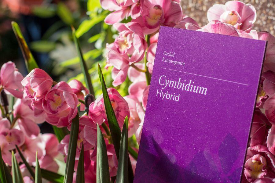 Cymbidium Hybrid at Orchid Extravaganza at Longwood Gardens in Kennett Square, Pennsylvania.
