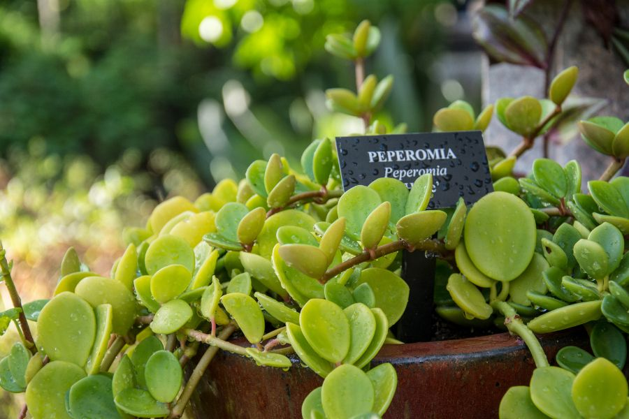 Peperomia at Longwood Gardens in Kennett Square, Pennsylvania.