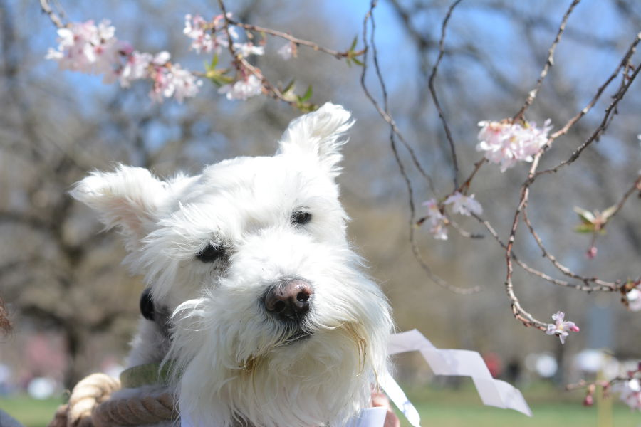 Even George, the miniature schnauzer loves cherry blossoms. Every year, people gather in Philadelphia's Shofuso in Fairmount Park for Sakura Sunday to celebrate Japanese culture and picnic under the cherry blossoms!