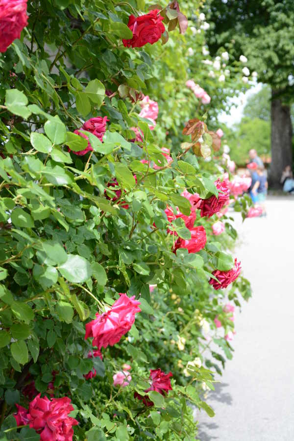 Red roses on the Frauenchiemsee.