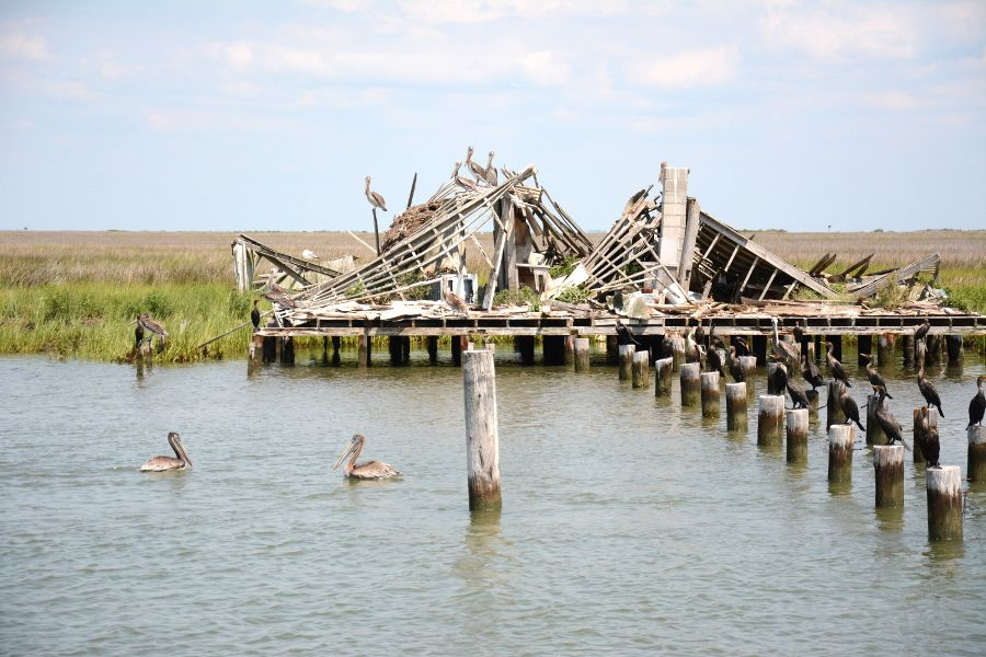 Pelicans on a ruin in Chesapeake Bay.