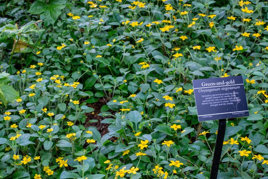 Green-and-Gold flowers at Mt. Cuba Center in Delaware.