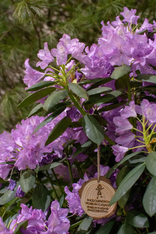 Rhododendron on display at the Flower Show.