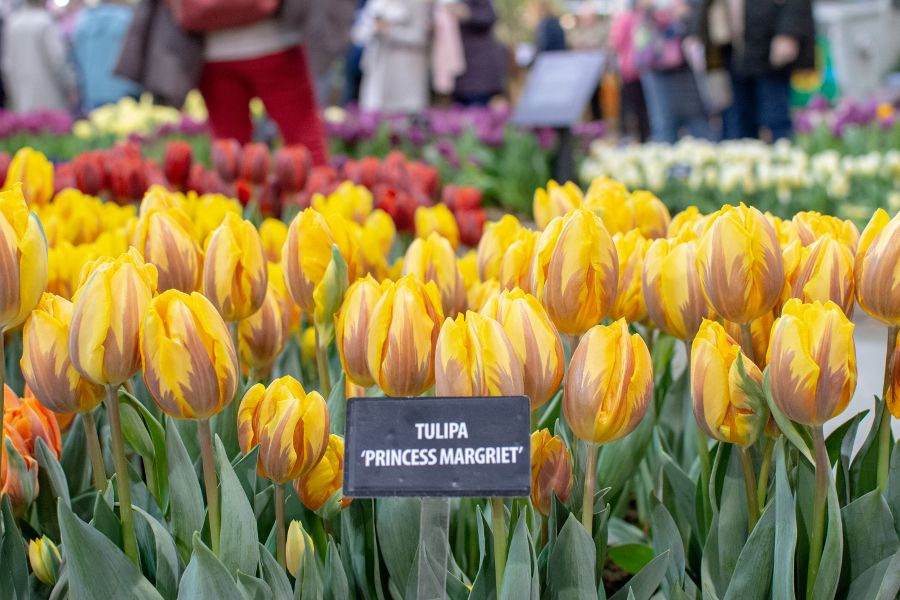 Yellow Princess Margriet tulips.