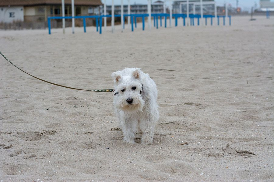 White mini schnauzer walking on the beach in Cape May. The beaches are the best part of a Cape May dog-friendly vacation.