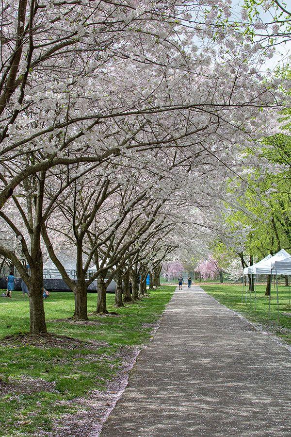 Cherry blossoms line the sidewalk.