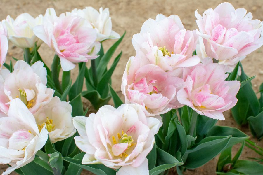 Delicate pink white tulips.