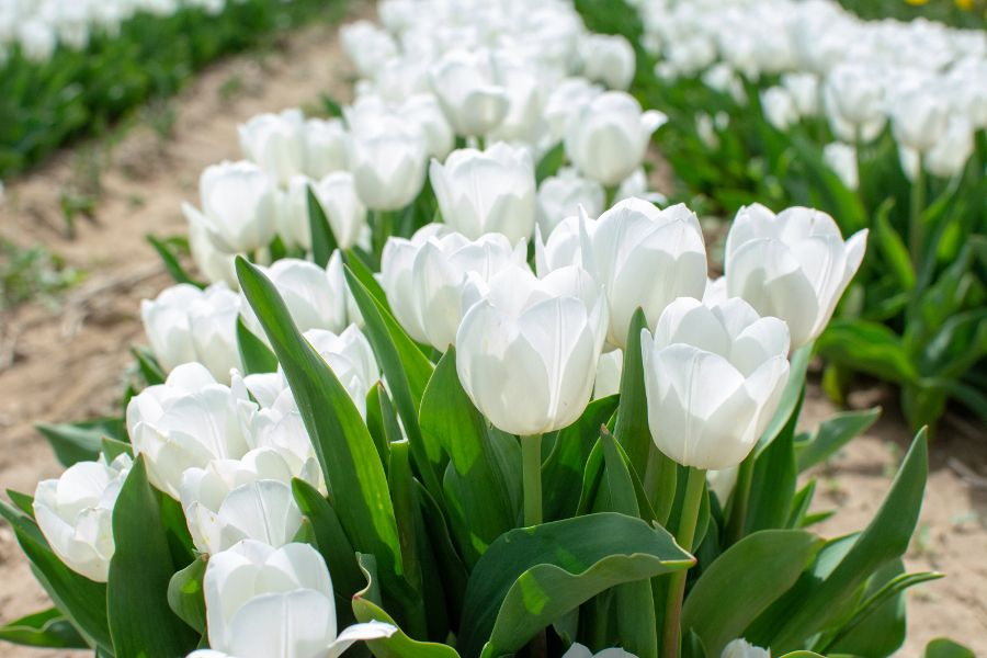 White tulips in the sun.