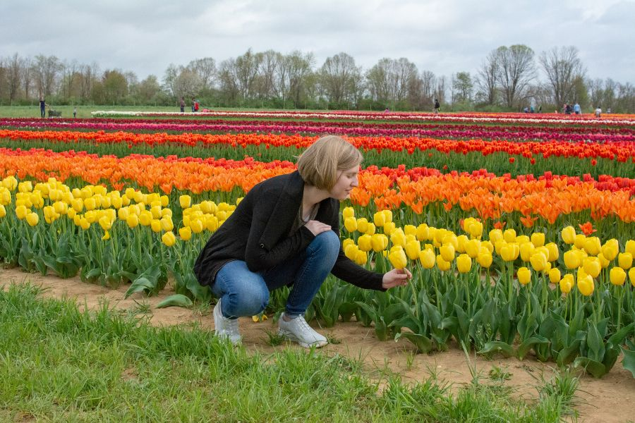 Examining one of the beautiful yellow tulips at Holland Ridge Farms Tulip Festival.