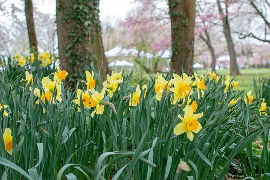 Daffodils in Fairmount Park.