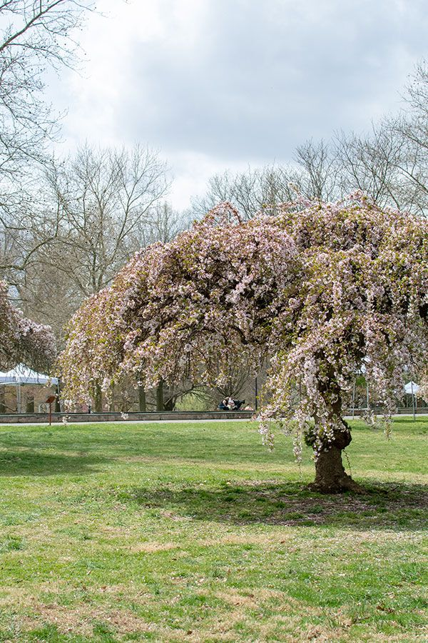 Weeping cherry trees in Fairmount Park.