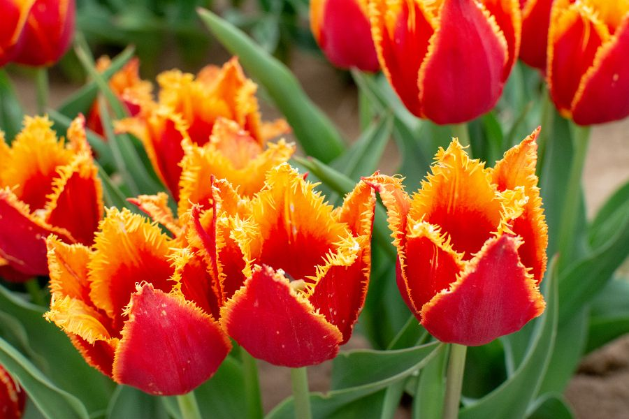 A close up of a fringed orange and yellow tulip.