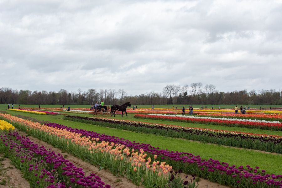 A horse drawn carriage goes through a field of tulips.