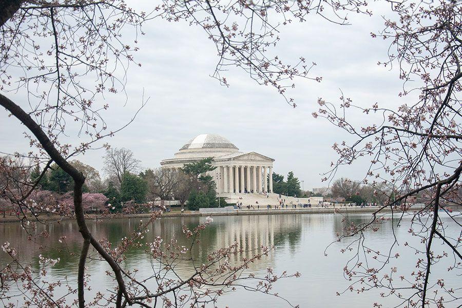 Washington, DC cherry blossoms frame a view of the Jefferson Memorial.