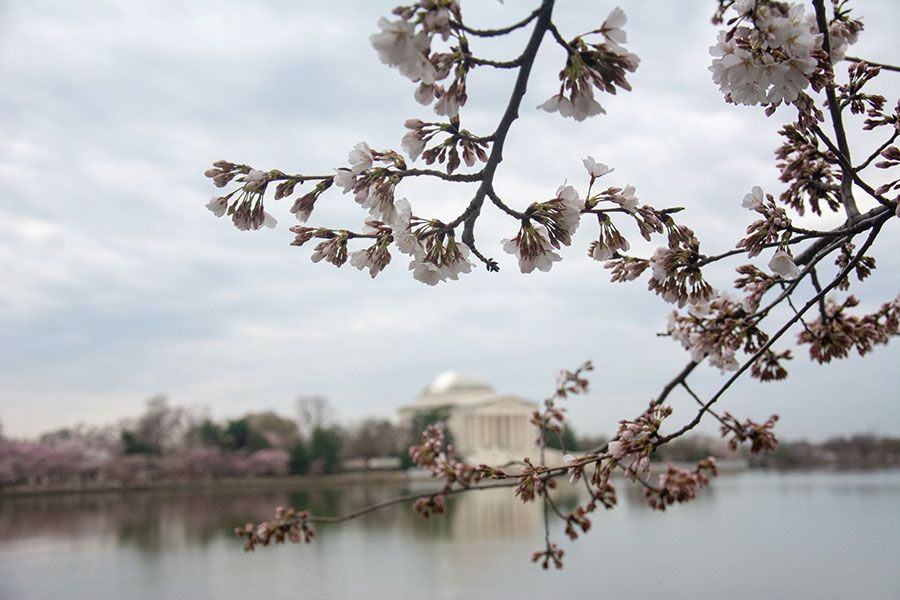Looking across the Tidal Basin at the Jefferson Memorial during Washington, DC cherry blossoms season.