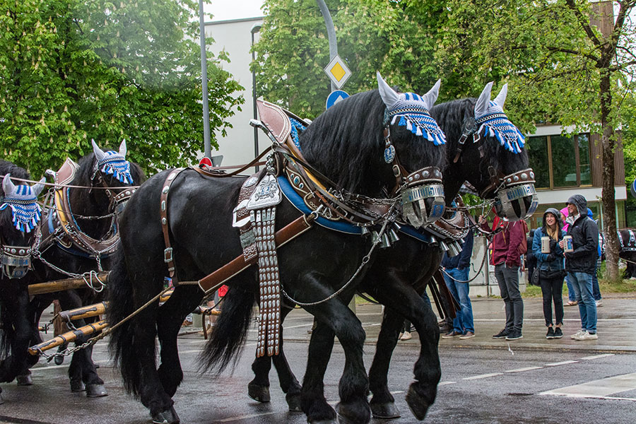 Horses pull the Augustiner parade float through the streets of Munich towards the Theresienwiese.