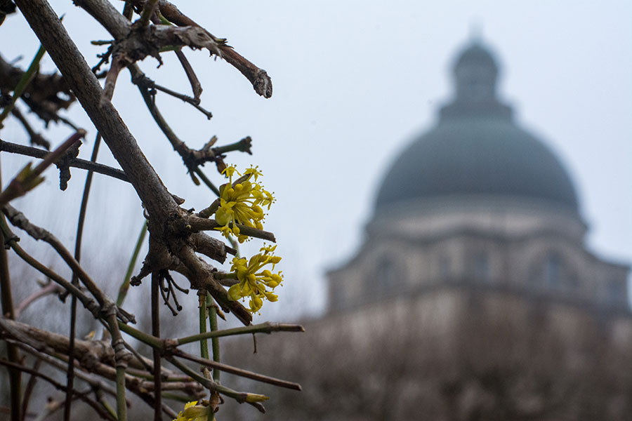 The first sign of spring in Munich is fresh blossoms in front of the Bayerische Staatskazlei.