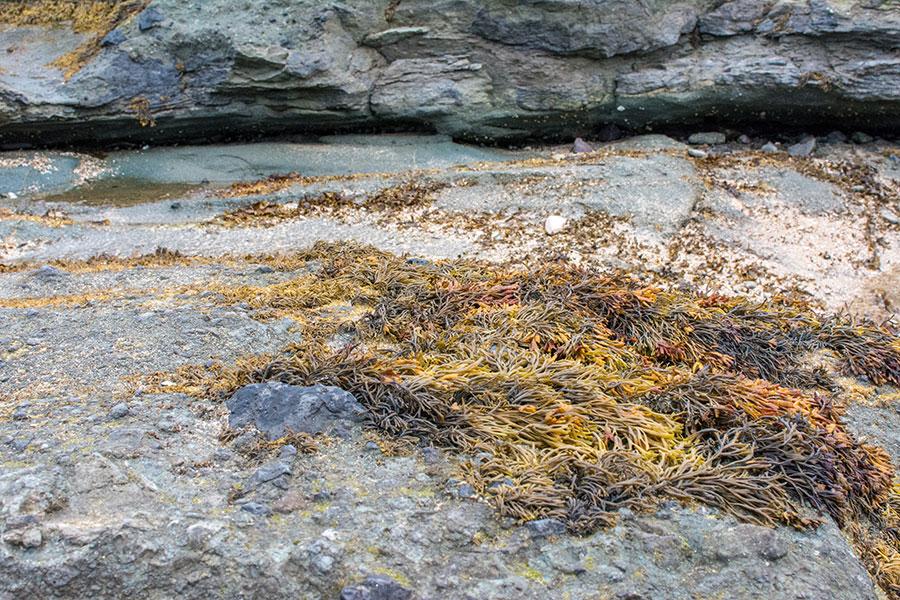 Seaweed grows on a stone sitting on the North Berwick beach.