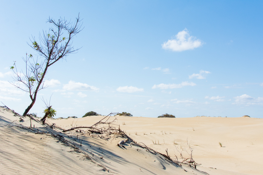 Plants growing through the dunes at Jockey's Ridge State Park in the Outer Banks, North Carolina.