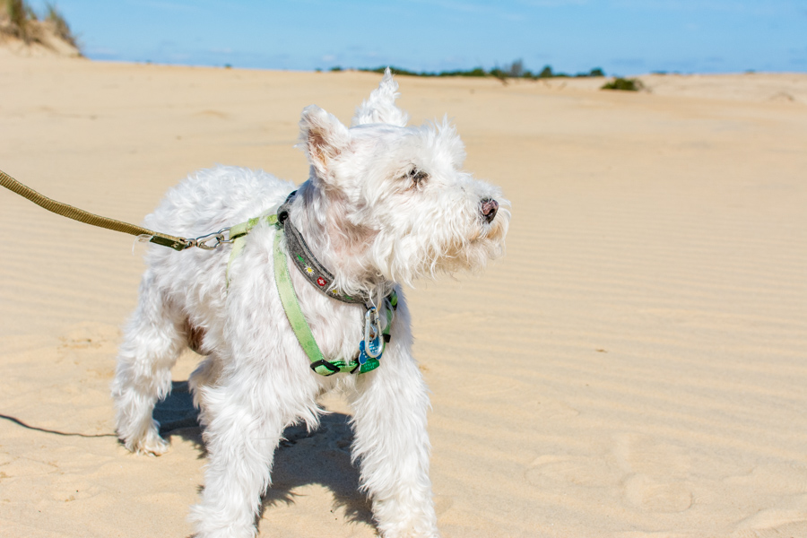 The Outer Banks' Jockey's Ridge State Park is a dog-friendly attraction that's free to visit. It's also a great East Coast dog friendly beach.