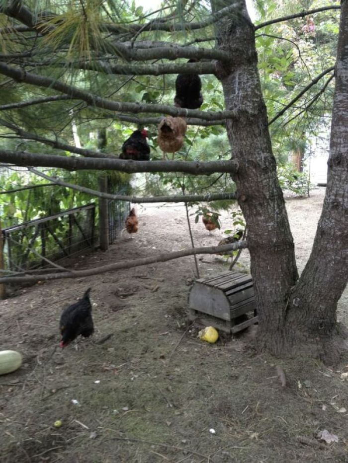 Chickens Roost