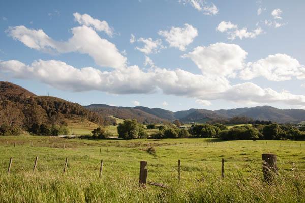 vaches en Tasmanie