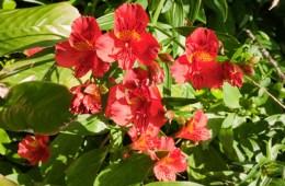 Fleur du Portugal
