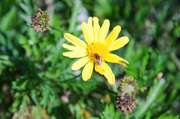 Butinage d'une fleur de gerbera