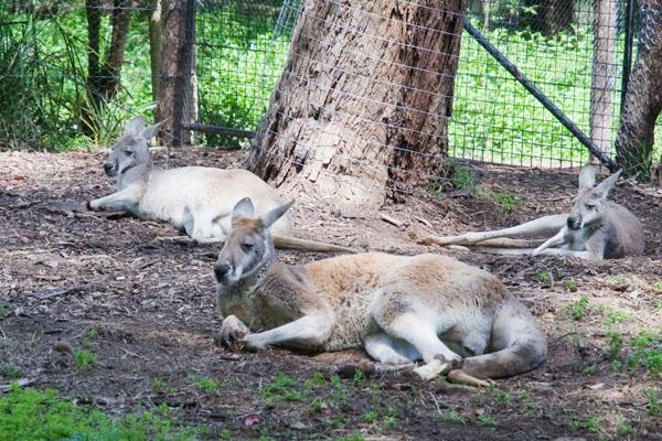 Kangourous Australie