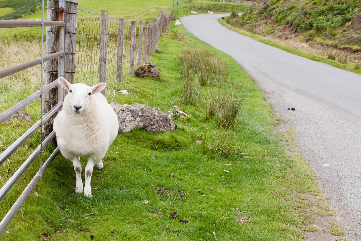 Moutons d'Ecosse